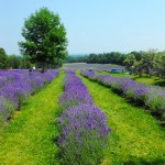 Enroute to the Lavender Fields in Quebec